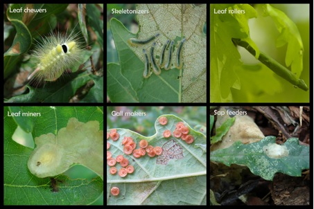 Figure 2: Examples of herbivores and damage found on Quercus robur.