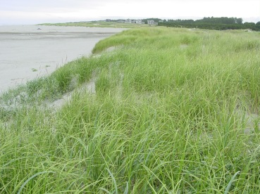 Foredune dominated by Ammophila breviligulata, Long Beach Peninsula, Washington