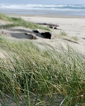 plz_southbeach_ammophila_arenaria_dune3