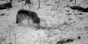 Credit: Erik R Olson and Richard C Olson, Gray wolf, Canis lupus, visiting a gut pile left by a white-tailed deer (Odocoileus virginianus) hunter in northern Wisconsin.