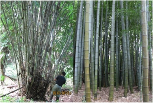 Typical pachymorph (left) and leptomorph (right) type bamboos (photo credit: (left) Akifumi Makita, (right) Yoshihisa Suyama)