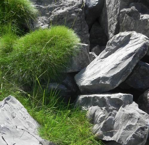 The two phenotypes of Festuca gautieri in their natural habitats at La Pierre Saint Martin (Atlantic Pyrenees, France): tight cushion in rocky convex topography (upper cushion) and loose cushion in concave topography (lower cushion).