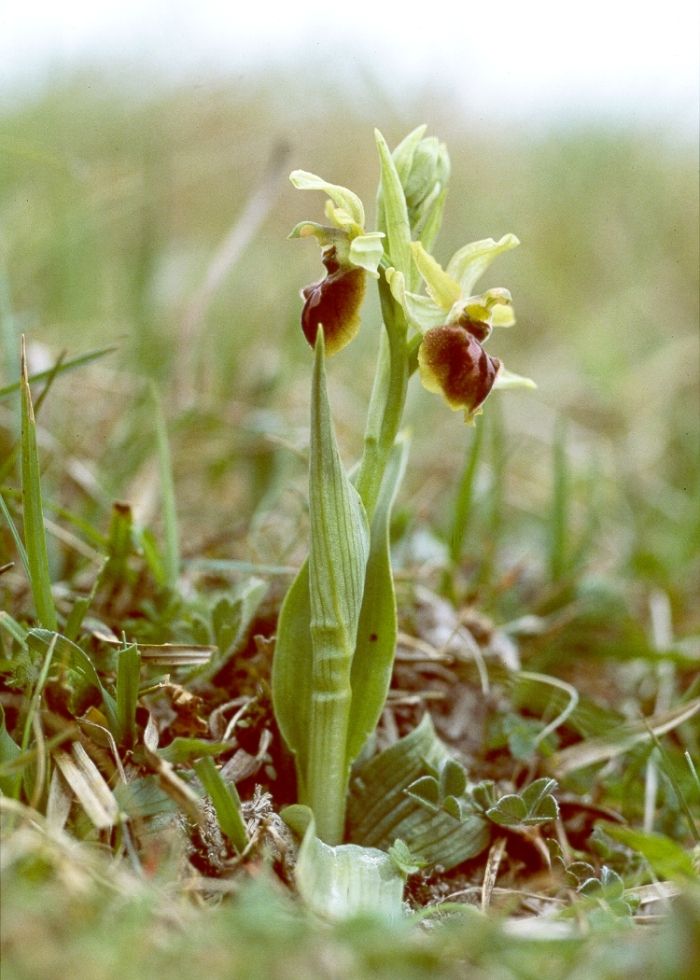 Early spider orchid (Ophrys sphegodes)