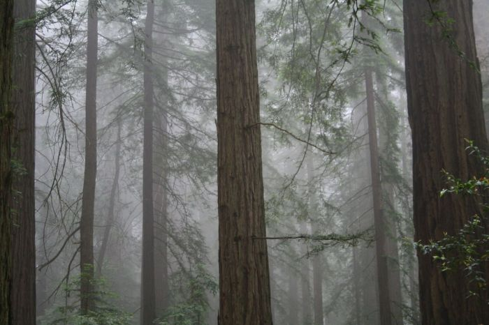 Redwood forest 1