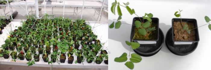 Left: One replicate block of the feedback experiment (red labels: living own soil; yellow labels: living all species soil; white labels: sterilized soil). Right: Two times the same plant species (Sanguisorba officinalis) planted at seedling stage but growing very differently in response to the soil treatments.