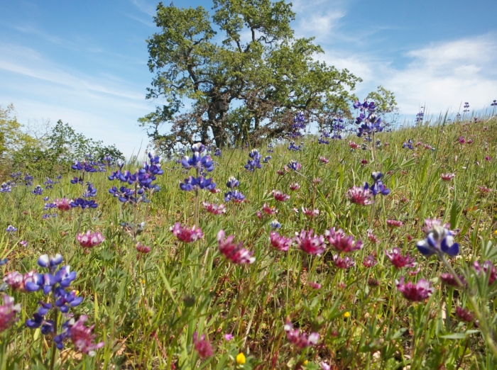 Annual wildflowers (with a valley oak in the background) also from the Bay Area, taken by Joan Dudley in 2013