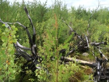 Yong forest stand regenerated naturally after stand replacing fire