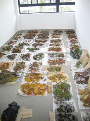 Collections of basal angiosperm and eudicot litter for use in litterbags in the tropical litterbed_2011