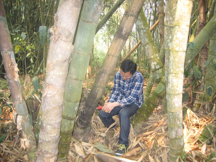 Guofang Liu collecting dead wood of a giant bamboo at Xishuangbanna Tropical Botanical Garden_2012