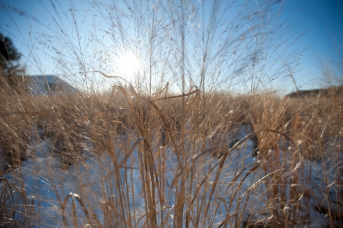 Switchgrass detail.
