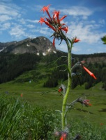 Secondary nectar robbing costly to plants, Sarah K. Richman et al. http://dx.doi.org/10.1111/1365-2745.12657