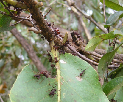 Leaf-cutter ant and savanna plant recruitment, Alan N. Costa et al http://dx.doi.org/10.1111/1365-2745.12656