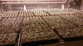 Effects of inbreeding in Centaurea stoebe (Rosche et al. 2016): http://onlinelibrary.wiley.com/doi/10.1111/1365-2745.12670/full