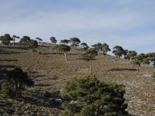 Pinus nigra - https://doi.org/10.1111/1365-2745.12702