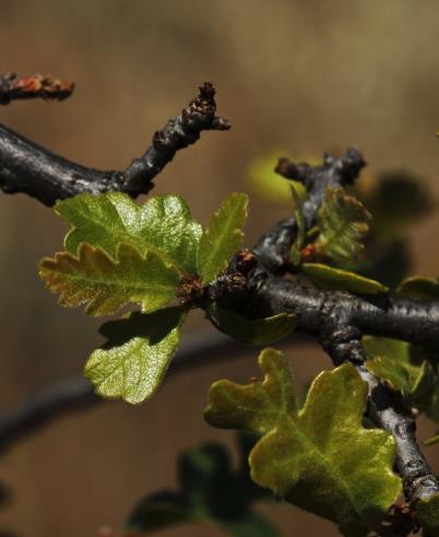 Quercus lobata - leaves 2