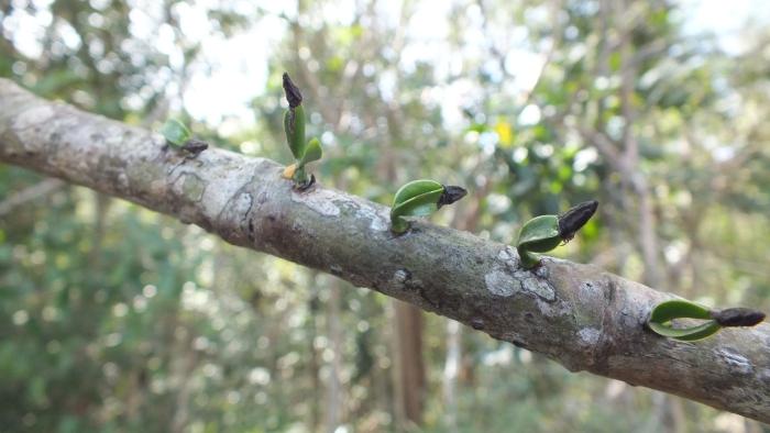 Mistletoe host suitability experiment Caraballo