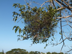 Mistletoe on fiddlewood Caraballo