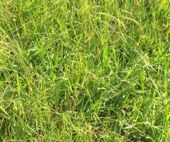 Plant community dominated by Paspalum dilatatum in control conditions.