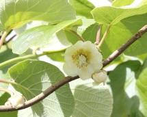Actinidia chinensis (Kiwi plant)