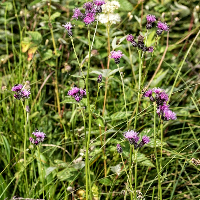 Serratula found at Malham Tarn fen (Photo: Robert Goodison)