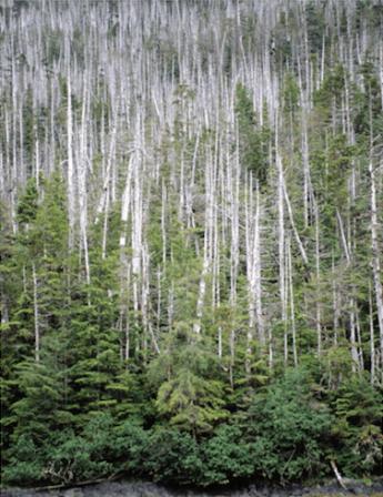 Intensive yellow-cedar mortality on Chichagof Island, Alaska. Photo credit: U.S. Forest Service.
