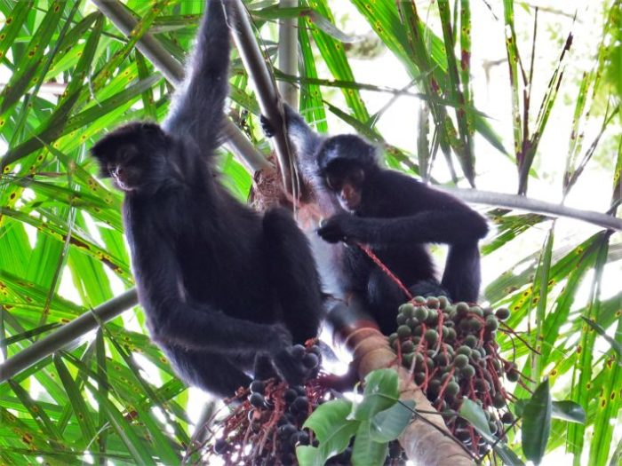 spider-monkeys-foraging-710x533