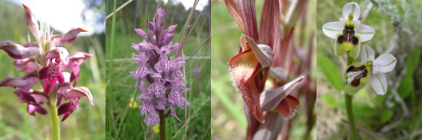 Figure 1. Representative of the four pollination strategies investigated in our study: nectar production (Anacamptis coriophora), food deception (Dactylorhiza fuchsii), shelter mimicry (Serapias vomeracea) and sexual deception (Ophrys neglecta) (Photo: Nina Joffard, Iris Le Roncé).
