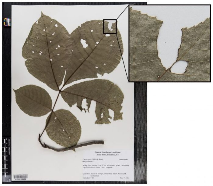 Herbarium-specimen-with-insect-damange-Emily-Meineke-Harvard-University-1-710x619