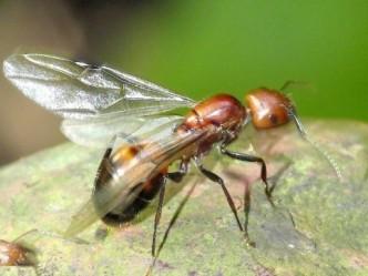 flyingant