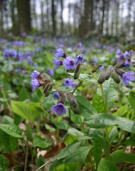 Fig 1. Pulmonaria officinalis flowering in a woodland (Photo: Rein Brys)