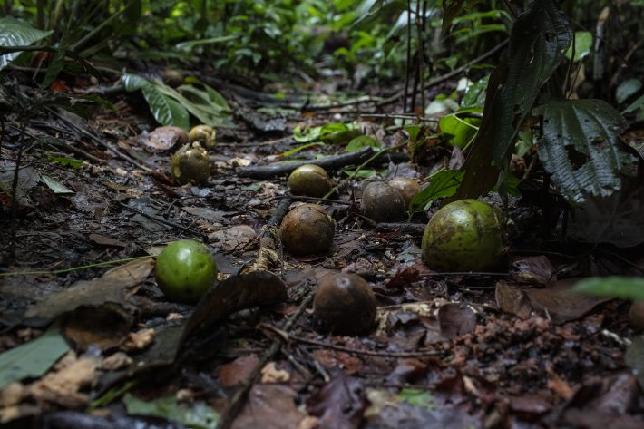 hawes - Fruits-on-the-forest-floor-Marizilda-Cruppe-Rede-Amazônia-Sustentável